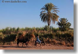 africa, cows, egypt, horizontal, men, mules, people, walking, photograph