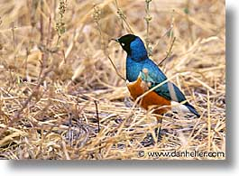 africa, animals, birds, horizontal, superb starling, tanzania, tarangire, wild, photograph