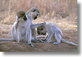 africa, animals, horizontal, monkeys, tanzania, tarangire, vervet, wild, photograph