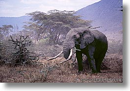 africa, animals, elephants, horizontal, pachyderms, tanzania, tarangire, wild, photograph