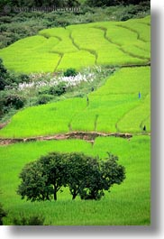 asia, bhutan, colors, fields, green, landscapes, lush, nature, rice, rice fields, trees, vertical, photograph