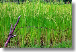 asia, bhutan, close, colors, green, horizontal, landscapes, lush, nature, plants, rice, rice fields, photograph