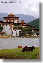 asia, asian, bhutan, buddhist, cows, dzong, people, punakha dzong, religious, temples, vertical, photograph