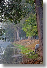 angkor wat, asia, cambodia, drinking, from, horses, moat, vertical, photograph