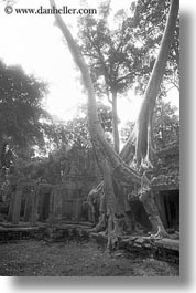 asia, black and white, cambodia, growing, preah khan, trees, vertical, walls, photograph