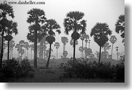 asia, black and white, cambodia, hazy, horizontal, palm trees, scenics, trees, photograph
