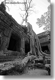 asia, black and white, cambodia, doorways, draping, roots, ta promh, trees, vertical, photograph