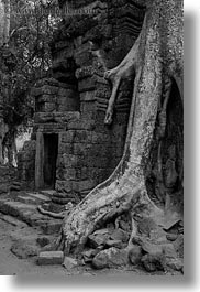 asia, black and white, cambodia, draping, roots, ta promh, trees, vertical, walls, photograph