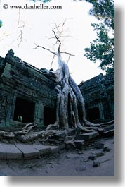 asia, cambodia, draping, roots, ta promh, trees, vertical, walls, photograph