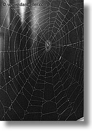 asia, japan, spider, vertical, web, photograph