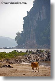animals, asia, cliffs, cows, laos, luang prabang, rivers, vertical, photograph