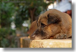 animals, asia, dogs, horizontal, laos, luang prabang, walls, photograph
