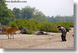 animals, asia, cows, horizontal, laos, luang prabang, men, photographing, photograph
