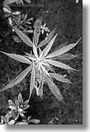 asia, black and white, laos, luang prabang, marijuana, plants, vertical, photograph