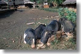 asia, hmong, hogs, horizontal, laos, villages, wart, photograph