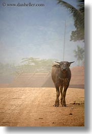 animals, asia, laos, rural, vertical, villages, water buffalo, photograph