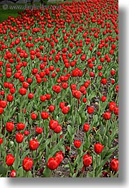 asia, moscow, plants, red, russia, tulips, vertical, photograph