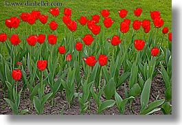 asia, horizontal, moscow, plants, red, russia, tulips, photograph