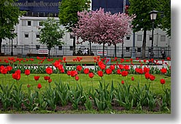 asia, blossoms, cherries, horizontal, moscow, plants, red, russia, tulips, photograph