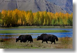asia, barley, foliage, horizontal, lakes, landscapes, lhasa, nature, stacks, tibet, trees, water, yaks, photograph