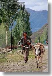 asia, cows, old, tibet, vertical, womens, yarlung valley, photograph