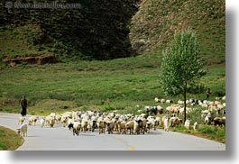 asia, horizontal, sheep, shepherd, tibet, yarlung valley, photograph