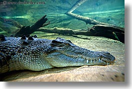 alligator, animals, australia, horizontal, sydney, taronga zoo, photograph