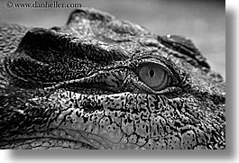 alligator, animals, australia, black and white, horizontal, sydney, taronga zoo, photograph