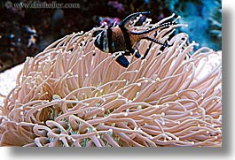 anemone, angels, animals, australia, fish, horizontal, sydney, taronga zoo, photograph