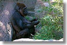 animals, australia, gorilla, horizontal, sydney, taronga zoo, photograph