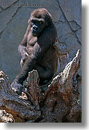 animals, australia, gorilla, sydney, taronga zoo, vertical, photograph