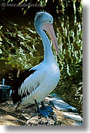 animals, australia, birds, pelicans, sydney, taronga zoo, vertical, photograph
