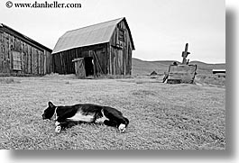 barn, black and white, bodie, california, cats, exteriors, ghost town, horizontal, state park, west coast, western usa, photograph