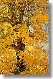 bridgeport, california, trees, vertical, west coast, western usa, yellow, photograph