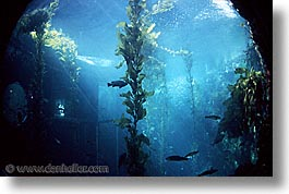 aquarium, cal coast, california, california coast, horizontal, kelp, monterey, west coast, western usa, photograph