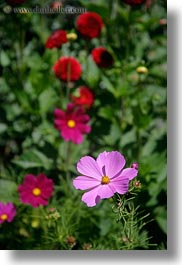 california, capitola, colorful, flowers, vertical, west coast, western usa, photograph