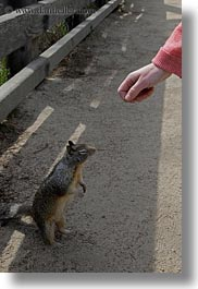 being, california, carmel, fed, hands, squirrel, vertical, west coast, western usa, photograph
