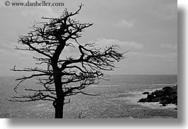 black and white, california, carmel, cypress, horizontal, lone, trees, west coast, western usa, photograph
