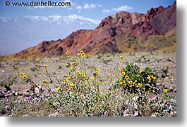 california, death valley, horizontal, landscapes, national parks, west coast, western usa, wildflowers, photograph