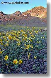 california, death valley, national parks, vertical, west coast, western usa, wildflowers, photograph