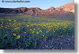 california, death valley, horizontal, national parks, west coast, western usa, wildflowers, photograph