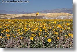 california, death valley, horizontal, lone, national parks, west coast, western usa, wildflowers, photograph
