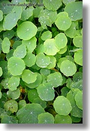 california, droplets, gorda, leaves, vertical, water, west coast, western usa, photograph
