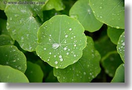 california, droplets, gorda, horizontal, leaves, water, west coast, western usa, photograph