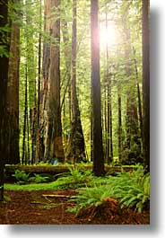 california, forests, humboldt, redwoods, trees, vertical, west coast, western usa, woods, photograph