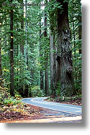 california, forests, humboldt, redwoods, tall, trees, vertical, west coast, western usa, woods, photograph