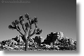 black and white, california, horizontal, joshua, joshua tree, trees, west coast, western usa, photograph