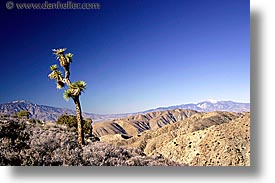 california, horizontal, joshua, joshua tree, trees, west coast, western usa, photograph