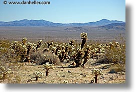 bears, cactus, california, horizontal, joshua tree, teddy, west coast, western usa, photograph