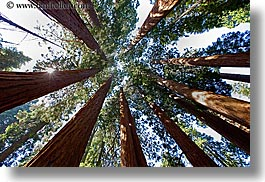 california, giants, horizontal, kings canyon, perspective, sequoia, trees, upview, west coast, western usa, photograph